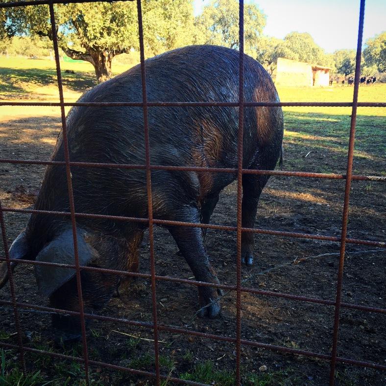 Así es un cerdo de pata negra